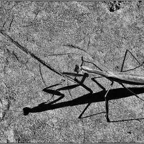 Afternoon Shadow by Sue Green - Nature Up Close Other Natural Objects ( pwcinsectsandspiders, nature, insects, praying mantis,  )