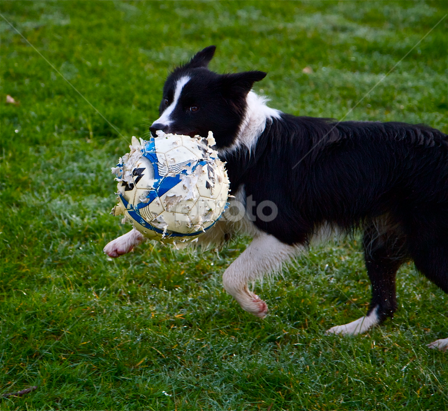 Carry the Ball by John Dutton - Animals - Dogs Playing