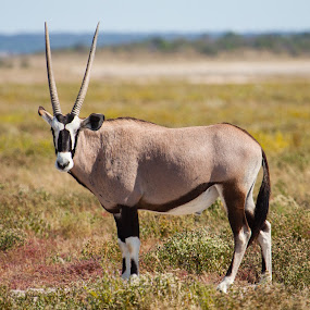Oryx by Ada Louw - Animals Other