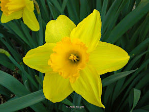 Photo: Lent Lilly (Narcissus pseudonarcissus)  flowering a bit late for Easter =))   #yisforyellow +YisforYellow +HQSP Flowers