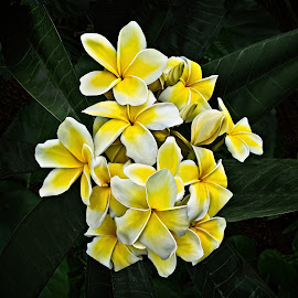 White and Yellow Plumeria by Joseph Vittek - Flowers Tree Blossoms