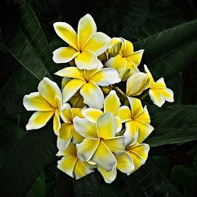 White and Yellow Plumeria by Joseph Vittek - Flowers Tree Blossoms