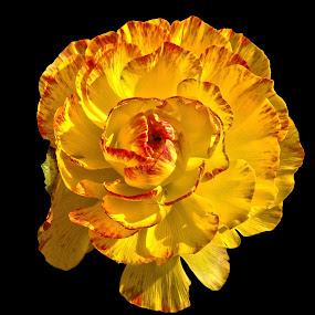 pelaa by Ghazan Joyia - Flowers Single Flower (  )