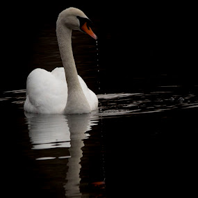 dripping swan  by Tracy Morris - Animals Birds