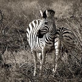 Zebra by Pieter J de Villiers - Black & White Animals