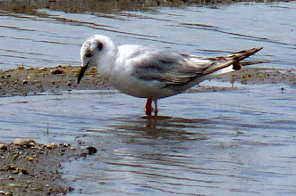 Photo: Bonaparte's Gull: http://www.allaboutbirds.org/guide/Bonapartes_Gull/id