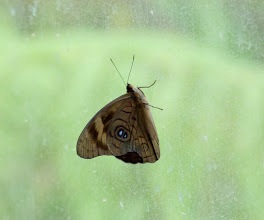 Photo: SHIMMERING (BROWN) PURPLEWING--eunica brunnea--IN OUR BUS AT RIO ALPAYACU