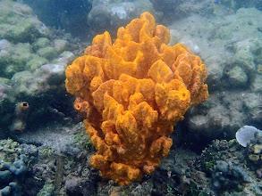 Photo: Orange Sponge, Chindonan Island, Palawan. Philippines.