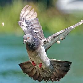 Pigeon 99993 by Raphael RaCcoon - Animals Birds