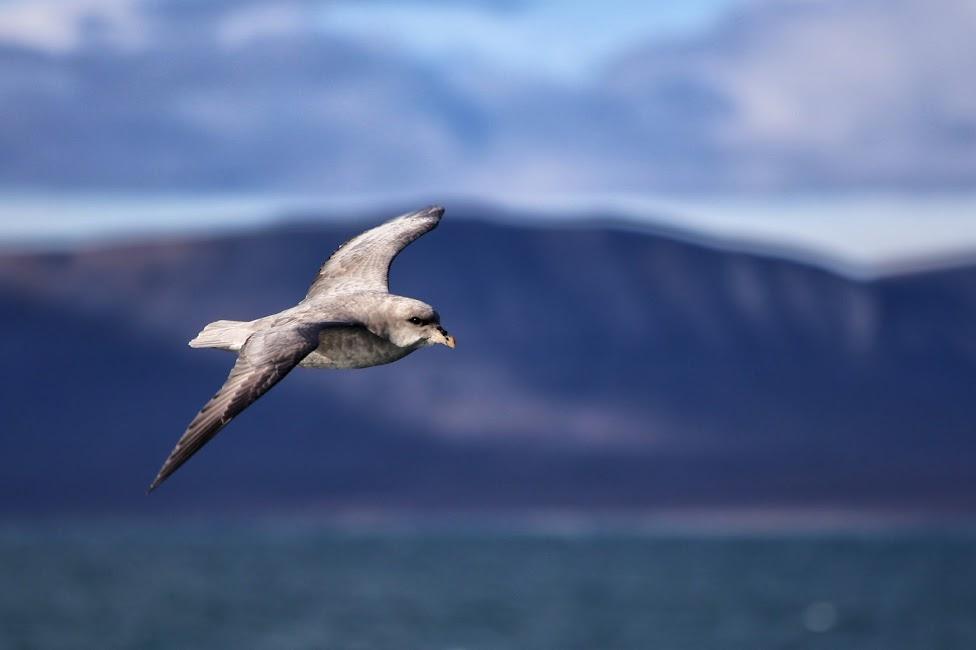Svalbard, ptak