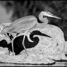 Great Blue Heron by Dave Lipchen - Black & White Animals ( great blue heron )