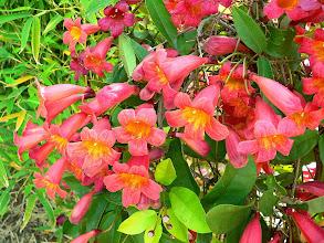Photo: Cipó Cruz de Flores Vermelhas Alaranjadas (Bignonia campreolata)