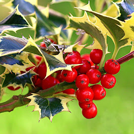 Garden Holly by Chrissie Barrow - Nature Up Close Other Natural Objects ( red, holly, nature, green, leaves, bokeh, closeup, berries )