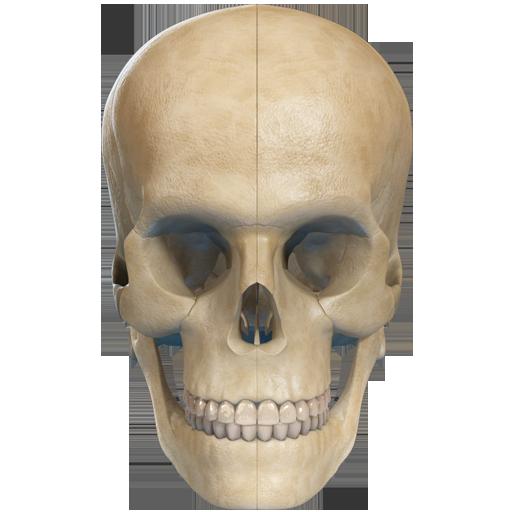 VR Human Skull
