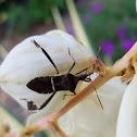 Leaffooted bug