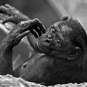 I'll Only Smile For Bananas by Don Chamblee - Animals Other Mammals