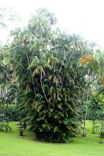 Photo: Year 2 Day 135 - Large Palms in Singapore Botanical Gardens