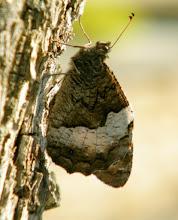 """Photo: Le papillon """"Sylvandre"""" (Hipparchia fagi). Il se pose souvent sur le tronc des arbres pour bénéficier du mimétisme. Lubéron (04- France) - 30.08."""