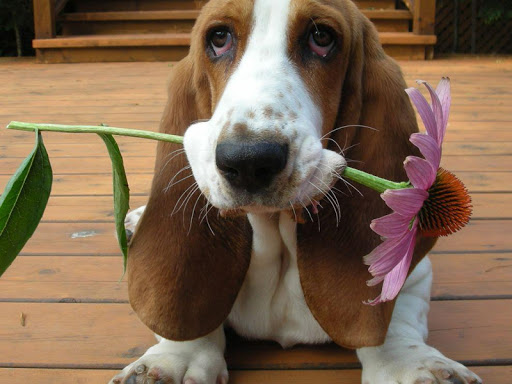 Basset Hound Live Wallpaper