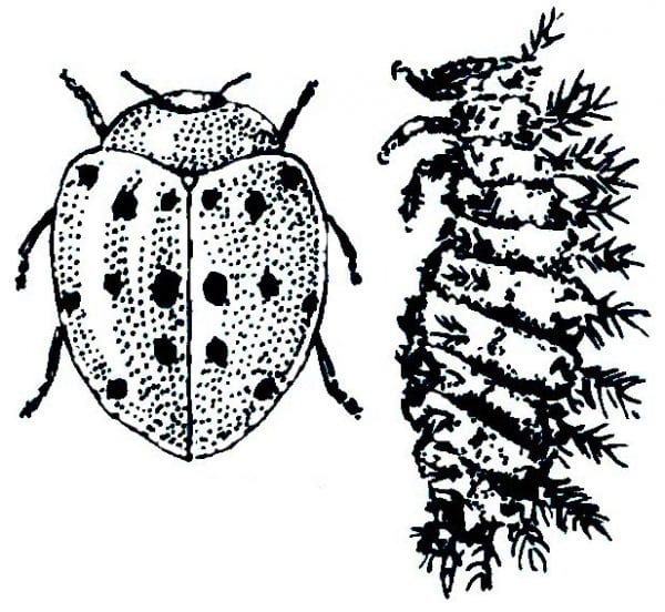 how to kill the mexican bean beetle