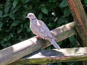 Photo: シラコバト Eurasian Collared Dove
