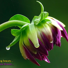 Budding beauty....  by Asif Bora - Typography Quotes & Sentences