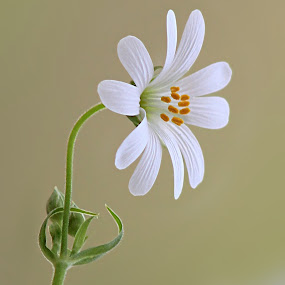 Stellaria by Besnik Hamiti - Nature Up Close Flowers - 2011-2013 ( stellaria, stitchwort, flower )