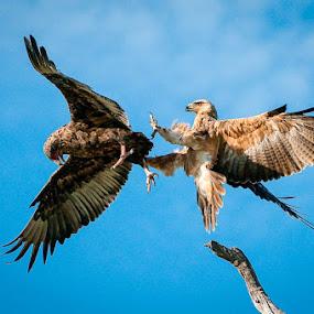 Dance of the Raptors... by Dana Allen - Animals Birds ( botswana, tawny eagle, bateleur eagle, dana allen )