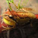 Verreaux's Tree Frog
