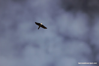 Photo: House martin and fluffy clouds