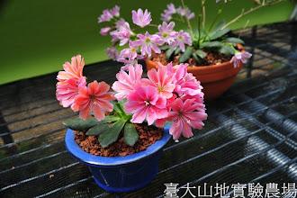 Photo: 拍攝地點: 梅峰-苔藓室 拍攝植物: 琉維花 拍攝日期:2012_04_04_Yah