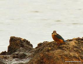 Photo: Kingfisher (Martin Pescatore), near Marzamemi, northeast of Pachino