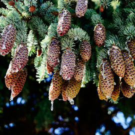 Pine cones by Denton Thaves - Nature Up Close Trees & Bushes ( pine cone, pine cones )