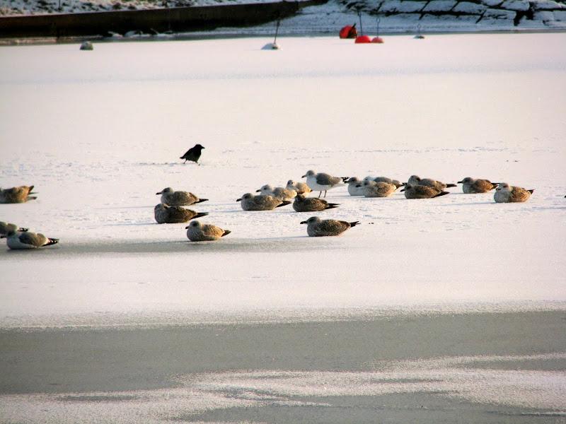 Photo: fåglar på isen