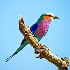 Lilac breasted roller by Nigel Johnson - Animals Birds ( bird, orange, lilac breasted roller, purple, lilac, tree, blue, twig, pink )