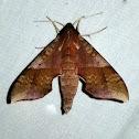 Azalea Sphinx Moth