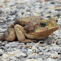 Giant neotropical toad