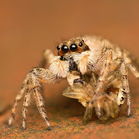 Canibalism by AhMet özKan - Animals Insects & Spiders ( hunter, jumping spider, canibalism, hunt, spider, prey )