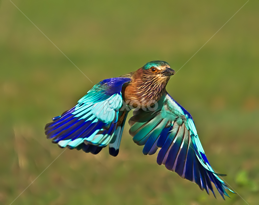 Role me, Iam Roller from India by Jineesh Mallishery - Animals Birds ( bird, freeze, wildlife, jineesh, photography, indian roller )