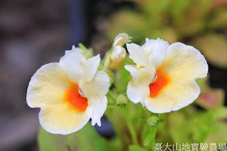 Photo: 拍攝地點: 梅峰-溫帶花卉區 拍攝植物: 愛蜜西(龍頭花) 拍攝日期: 2014_08_18_FY