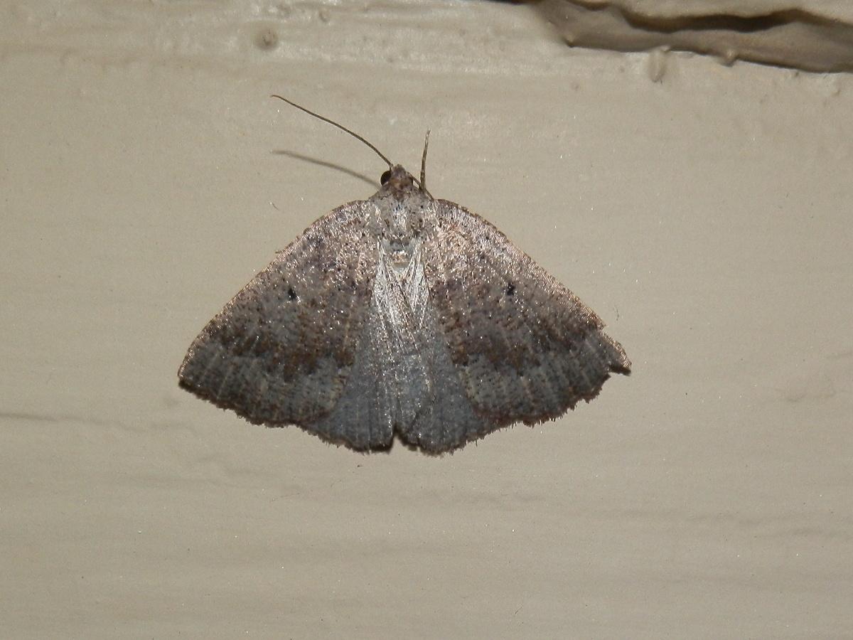 Furneaux Island Cape-moth