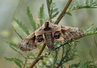 Photo: Smerinthus ocellata (T Menut)   Lepidoptera > Sphingidae