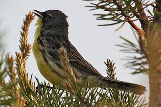 Photo: Kirtland's Warbler