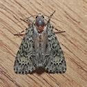 Fragile Dagger Moth