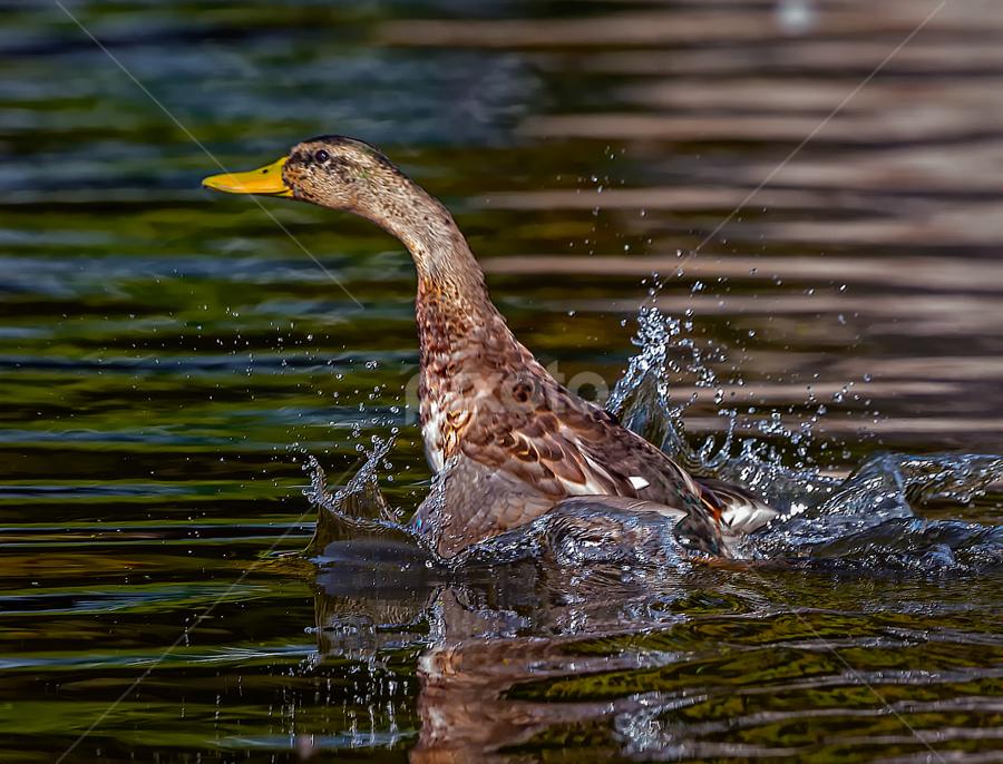 Mallard Beginning Flight by Don Holland - Animals Birds