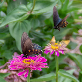 In for a landing by Jim Harris - Flowers Flowers in the Wild ( flowers, two butterflies, pink, butterflies, two flowers, nature, butterfly, flying, black, yellow, in the wild, flower )