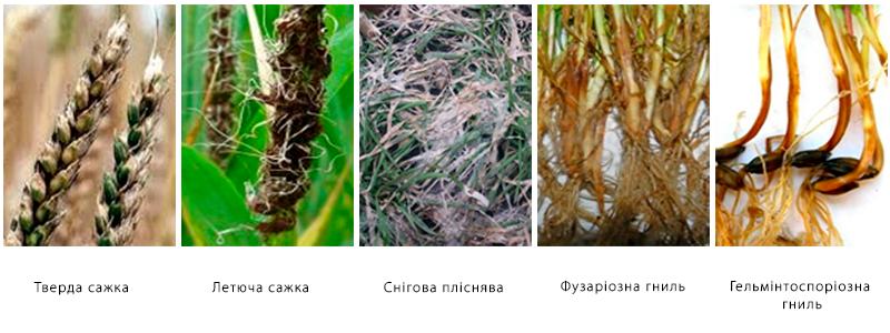 Протруювання насіння озимих зернових культур фото 2 LNZ Group