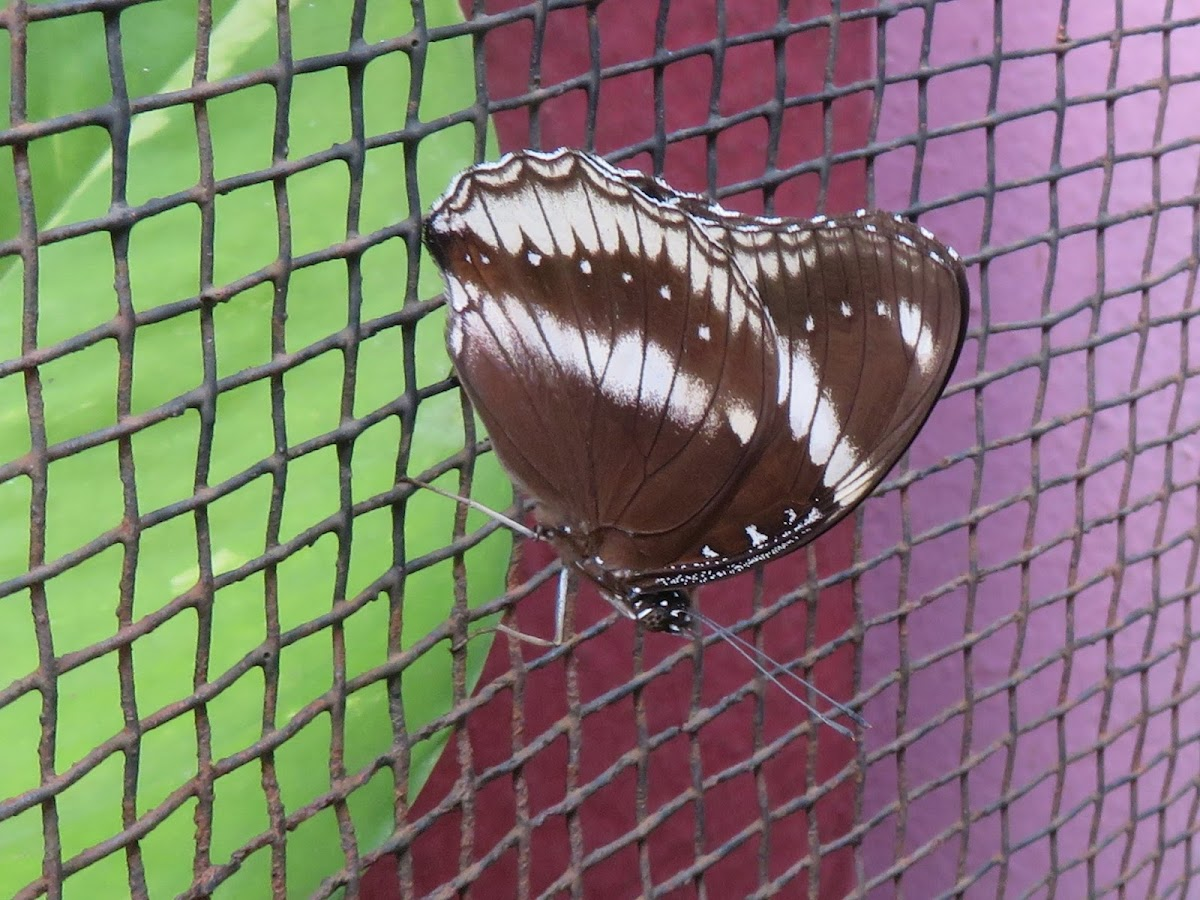 Great Eggfly (female)