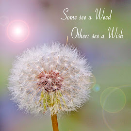 not what you see, it's how you see it by Kathy Suttles - Typography Captioned Photos ( dandelion, oklahoma, wish, weed, lawton, typography, captioned,  )
