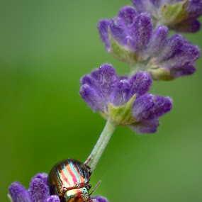 beetle by Michel Vandermeersch - Animals Insects & Spiders ( beetle, bug, nature, insect, lavender, chroom, national geographic )